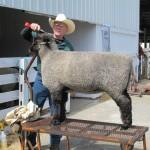 Sheep Grooming